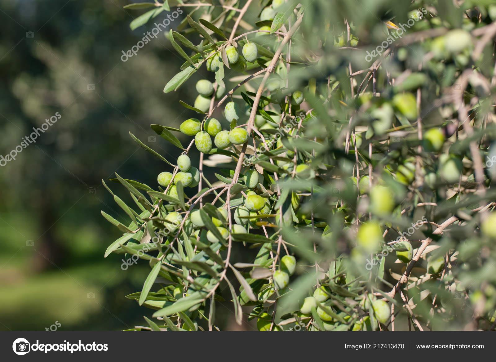 Atemberaubend Oliven Olivenbaum Zweig Grüne Oliven Früchte Mit Selektiven Fokus &KD_22