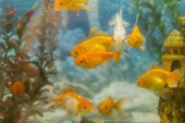 Fotografie Barevné tropické ryby plavání v akvárium s rostlinami. tropické ryby sladkovodní akvárium s green krásné zasadil