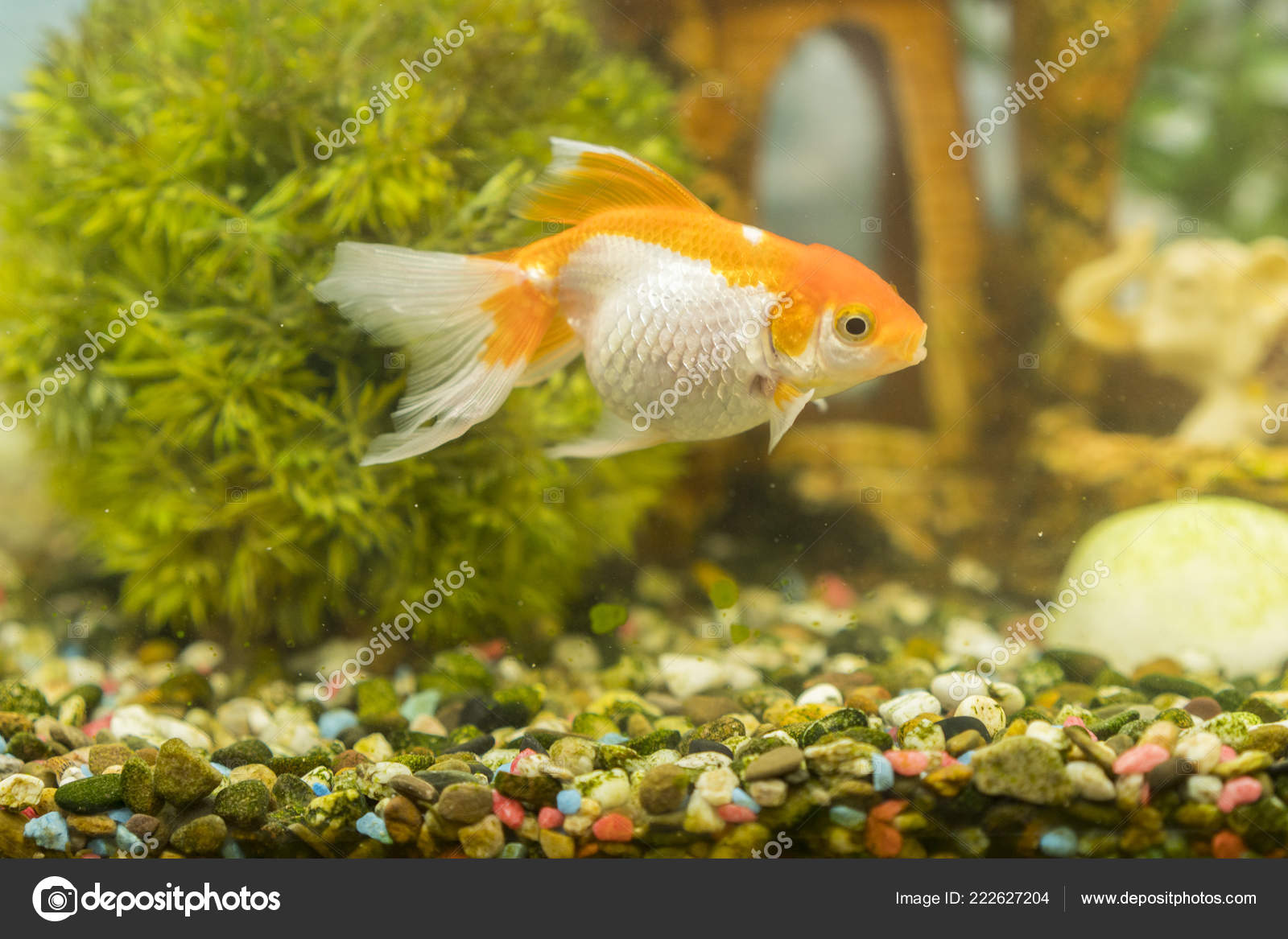 Pics Freshwater Aquarium Goldfish Freshwater Aquarium Green Beautiful Planted Tropical Fish Freshwater Aquarium Stock Photo C Colt Kiev Mail Ru 222627204