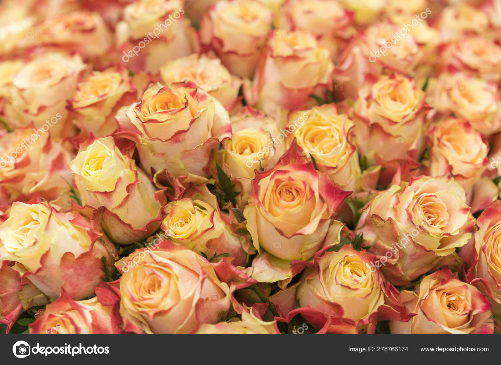 background of pink orange and peach roses natural background of fresh roses soft focus stock photo c colt kiev mail ru 278766174 https depositphotos com 278766174 stock photo background of pink orange and html