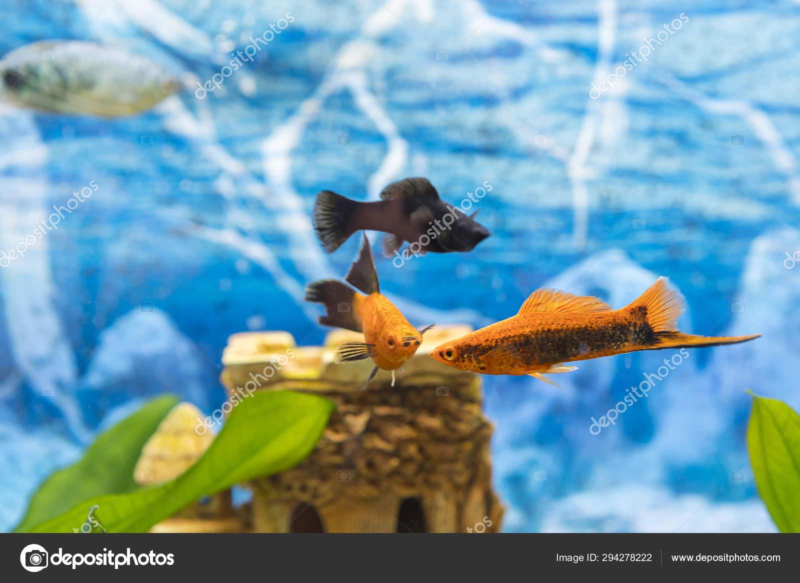 Black And Gold Fish In An Aquarium Colorful Fish In The Aquarium Beautiful Fish In The Aquarium Goldfish Aquarium A Fish On The Background Of Aquatic Plants Stock Photo C Colt Kiev Mail Ru 294278222
