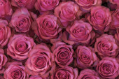 Background of pink and peach roses.