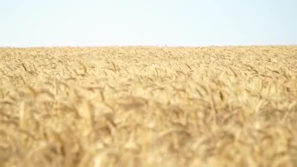 Wheat Field wery sunny