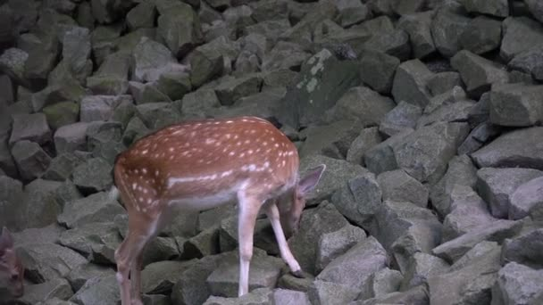 Cute female deer in the mountain forest