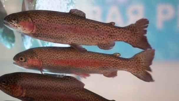 Szivárványos pisztráng drift egy tiszta átlátszó akváriumban. Pettyes hal, piros csíkokkal, megfosztott farkak az akváriumban a hal osztály a boltban.