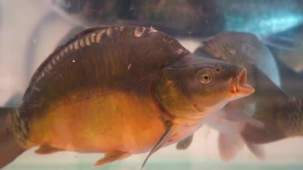 Kapr se stažená šupinami se ve špinavé vodě v akváriu odkapaví. Krásná ryba bez šupin v akváriu v rybím oddělení v obchodě se dívá do kamery.