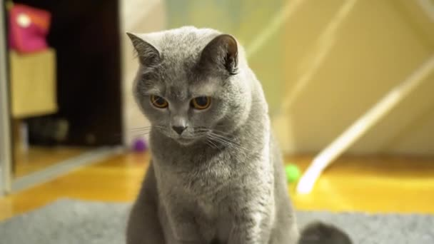 Porträt einer attraktiven grauen, flauschigen britischen Kurzhaarkatze mit gelben Augen auf verschwommenem Hintergrund zu Hause. Katze schaut sich um. Fokusannäherung der Kamera.