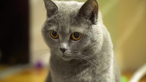 Portrét zamyšlený šedivý, krátkoocasý britský kocour se žlutýma očima na rozmazaných světle žlutých podkladech doma zblízka. Cat se rozhlíží.