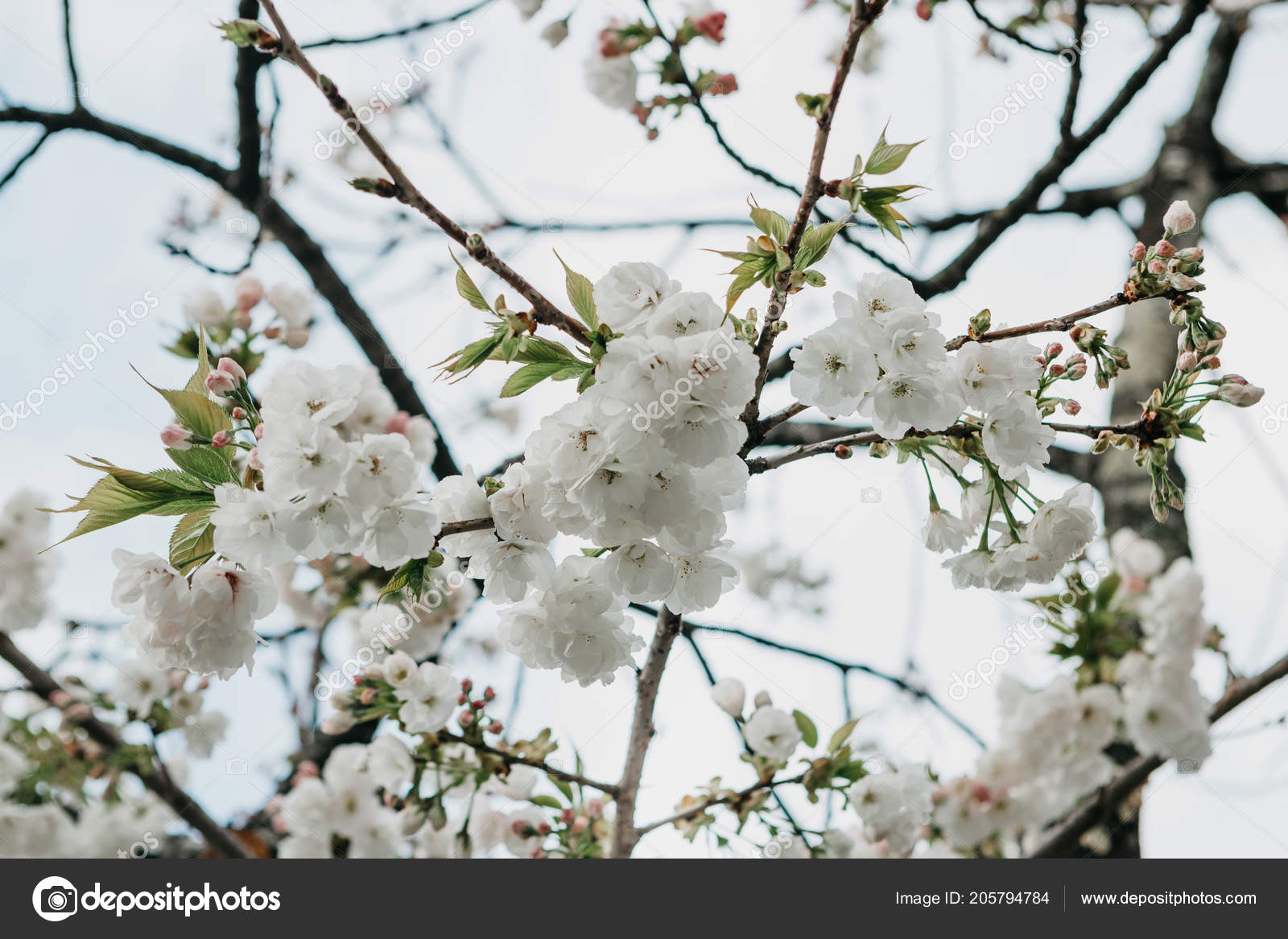 Branch Of A Tree With White Flowers Against The Sky Stock Photo