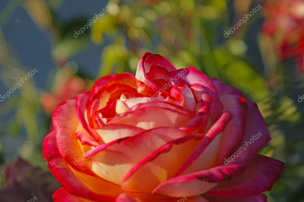 Beautiful pink rose closeup