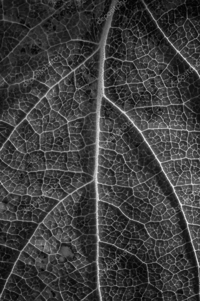close-up of macro texture of leaf, black and white photo