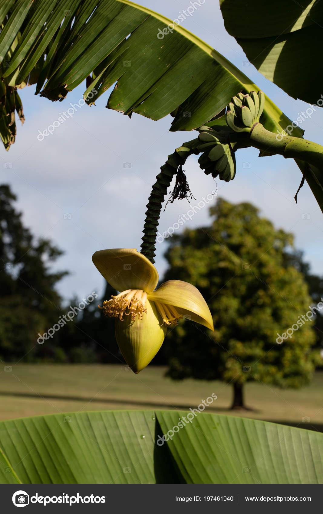 fleurs bananier avec des feuilles bananier petits fruits dans parc