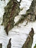 zaostřená na břízovém stromě s texturou a kmenem