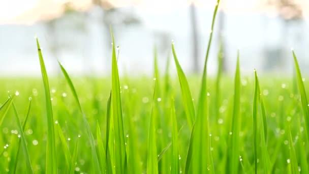 asiatische Reisfelder Vietnam grüne Farm. Ernte Landwirtschaft Pflanzung Anbau goldgrünen Reisterrassen in Bio-Bauernhof mit tropischen natürlichen Sonnenaufgang. Ökolandbau und Landschaftskonzept.