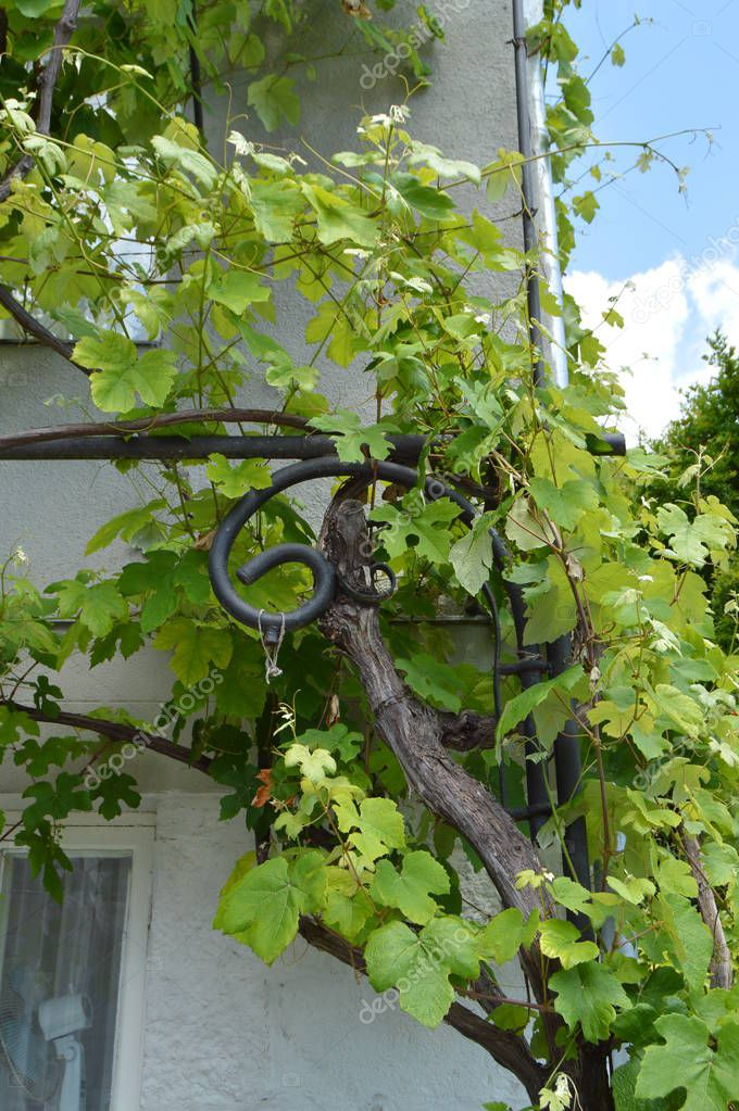 The Vine winds its way along the wall of a village house, beautiful background