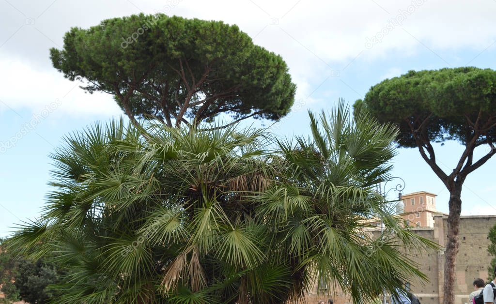 Italian pine and palm trees grow on Via dei Fori Imperiali - tourist street of Rome, October 7, 2018