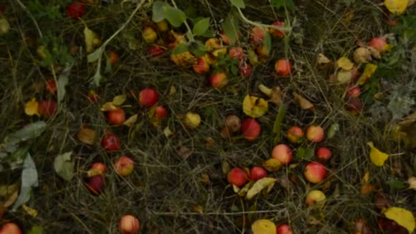 Ripe apples, fallen from the Apple tree, lie in the grass and on the path in the garden. Autumn landscape