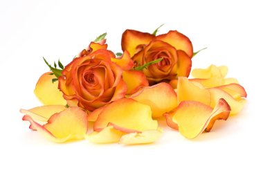 composition of tea roses and rose petals isolated on white background