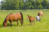 horses on spring pasture, Lower Rhine Region, Germany