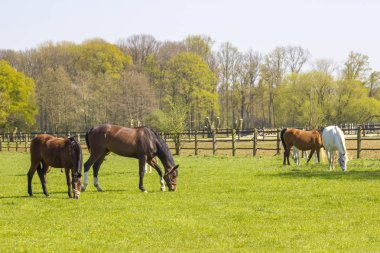 Horses on a spring pasture