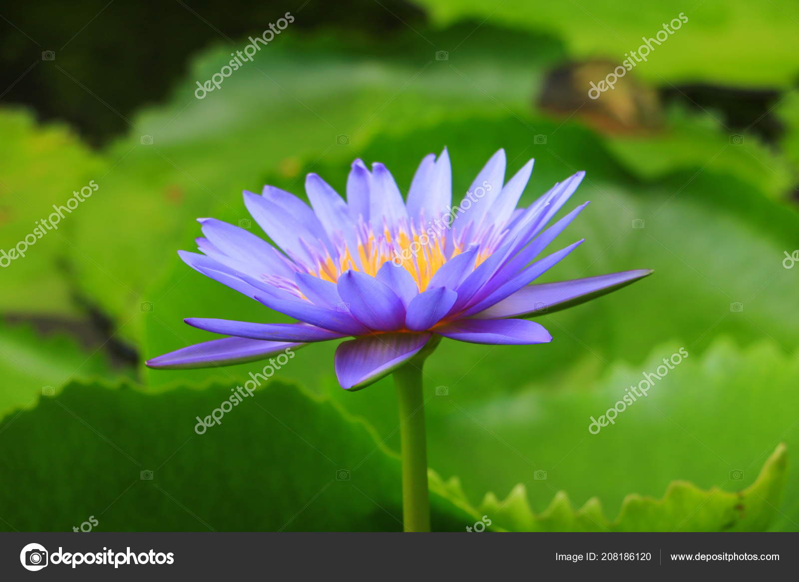 Lotus Flower Water Lilly Purple Beautiful Nature Stock Photo