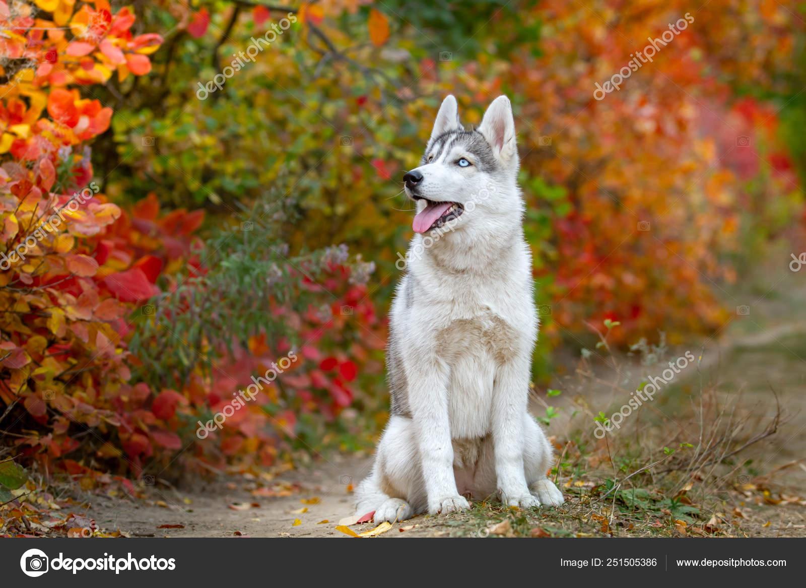 Closeup Autumn Portrait Of Siberian Husky Puppy A Young Grey White Husky A Park Stock Photo C Manickafoto Gmail Com 251505386