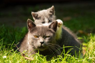 Family of cats outdoor. cat with kitten
