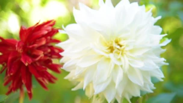 Podzimní květiny chryzantémy, Podzimní květiny