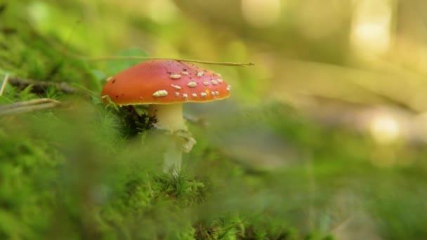 amanita muscaria houby