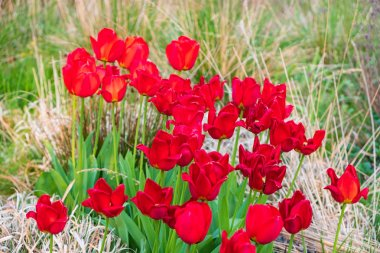 Red tulips in Whitworth Park, Manchester. Spring landscape