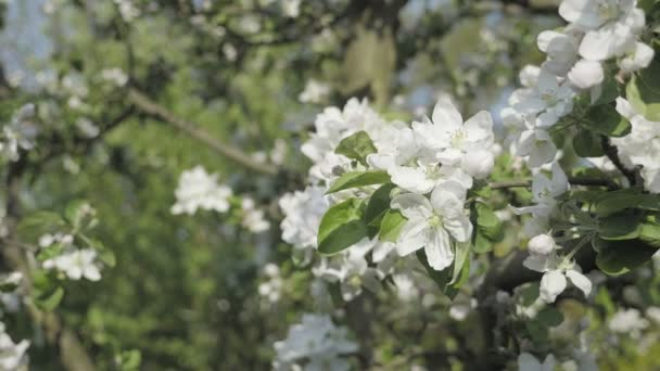 Detail of fall petals on spring theme  Apple blossom flower, trees in  background  White flower with spring atmosphere  Celebration of spring   Lovely composition, trees flowers  Low depth of field