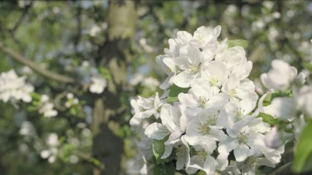 Apple blossom flower, trees in background. Detail of fall petals on spring theme. White flower with spring atmosphere. Celebration of spring. Lovely composition, trees flowers. Low depth of field
