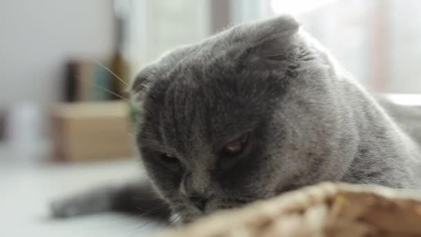 Közelről. Gyönyörű skót Fold macska hazudik az ablakpárkányon