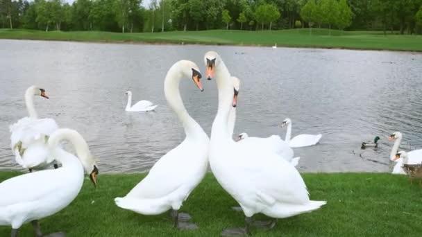 weiße Schwäne und Enten auf dem Gras am See. Schwanenfreundschaft