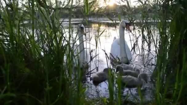 Family of Mute Swan (Cygnus olor)