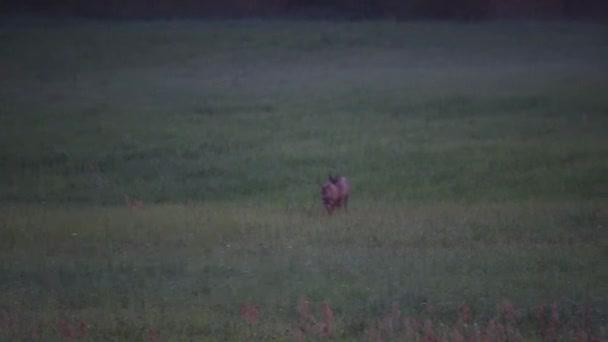 Rut of the roe deer (Capreolus capreolus).