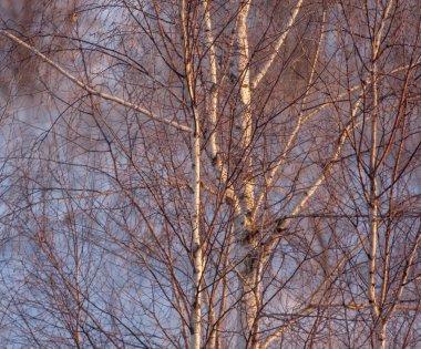 Frozen birch tree in the sunrise light