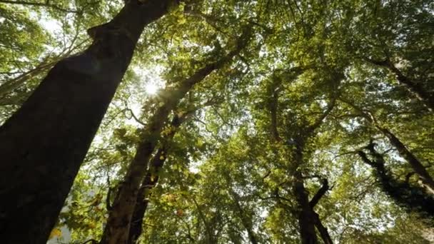Dense summer forest with tall green trees rotation shot low angle yellow bright sun shining