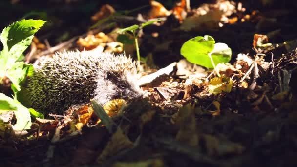 Hedgehog in grass under rays of sun