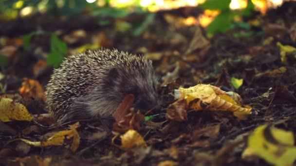 Hedgehog in the foliage