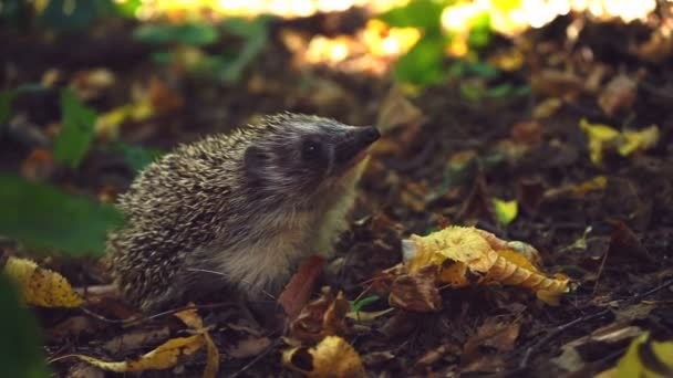 Curious hedgehog in woods