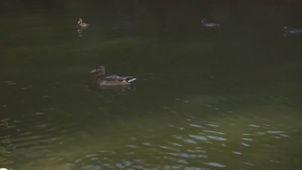 Ducks swim in muddy water
