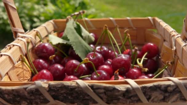 Berries of ripe cherries fall in a basket full of cherries