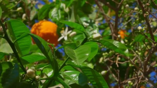 Blooming Orange Tree
