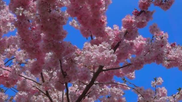 třešňový květ strom