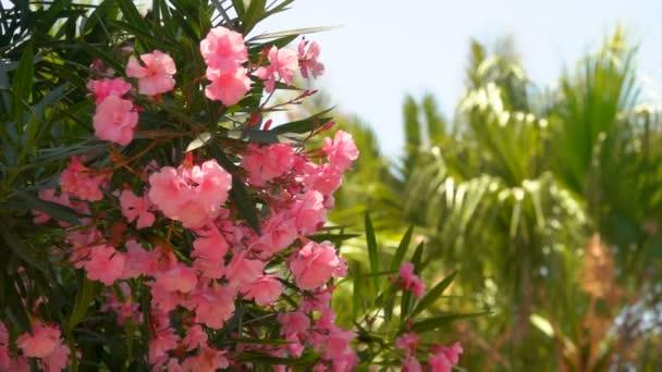 Virágzó cserje, a rózsaszín oleander