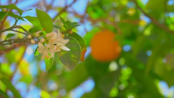 Branch with flowers and orange ovaries