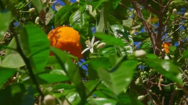 Zooming the camera of an orange flower on Orange Tree