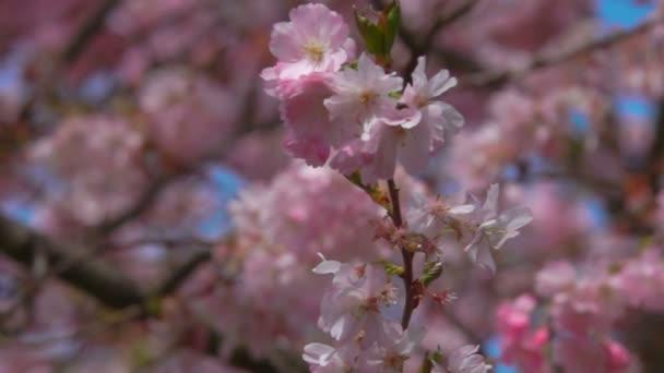 pobočka Třešňové květy.