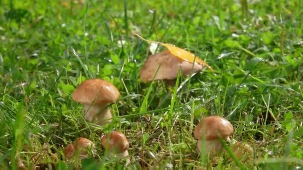Drops of rain fall on a group of edible mushrooms